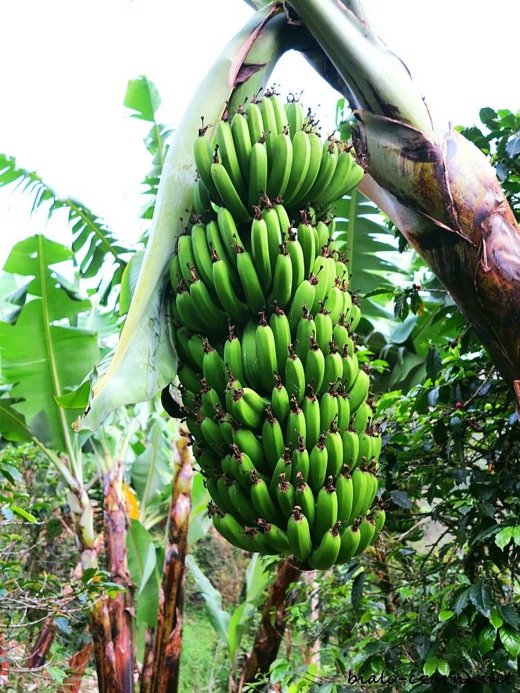 Kolumbia, plantacja kawy26