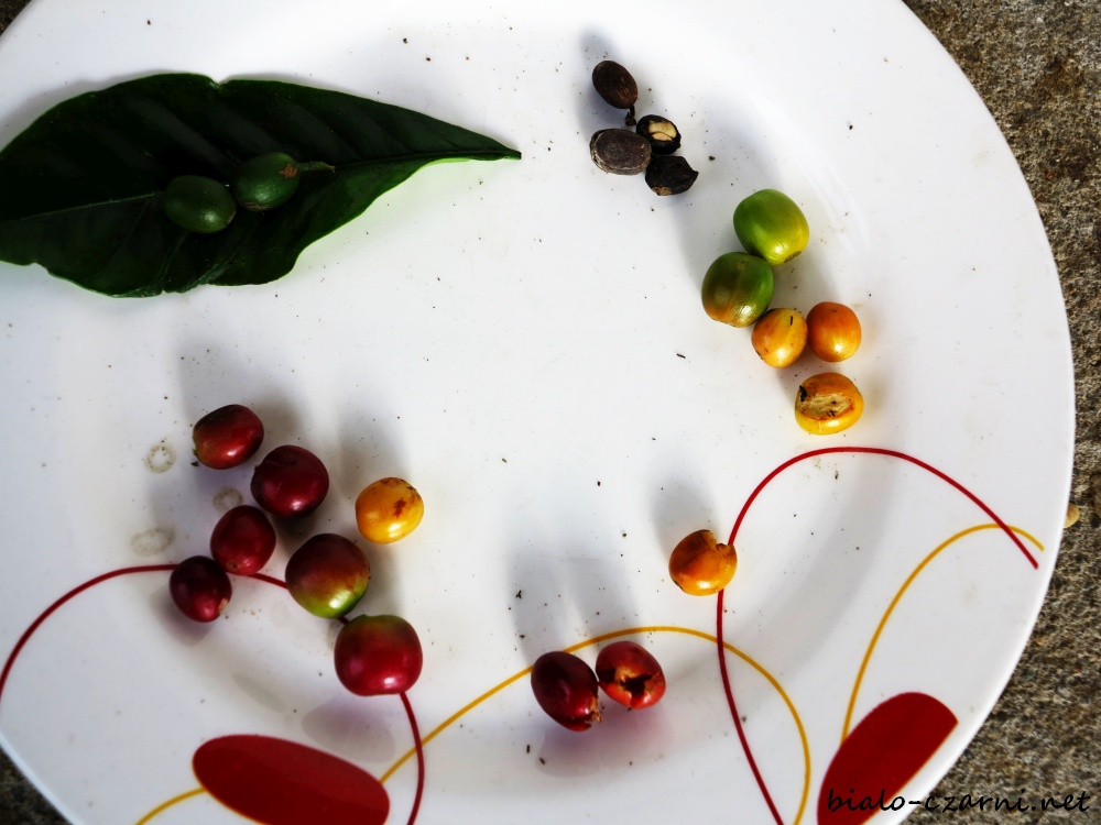 Kolumbia, plantacja kawy7