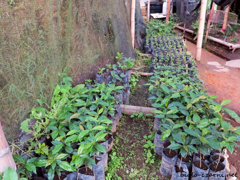 Kolumbia, plantacja kawy3