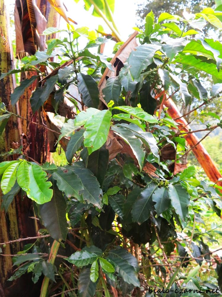 Kolumbia, plantacja kawy4